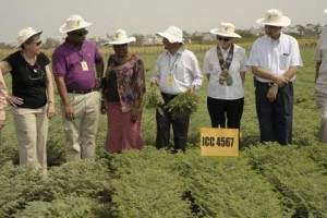 Chickpea Field trials at ICRISAT