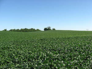 800px-Soybean_fields_at_Applethorpe_Farm