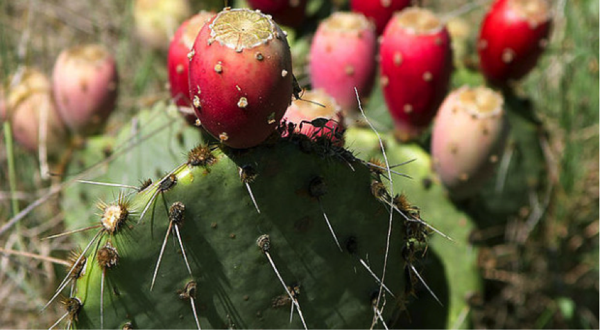 The Prickly Pear Cactus