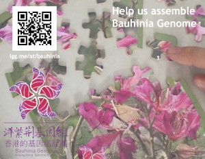 Bauhinia Postcard