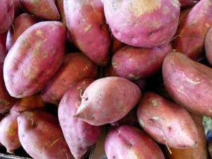 Sweet potato contains genes from bacteria making it a naturally occurring GM crop