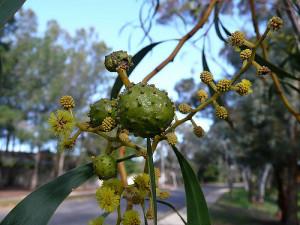 Galls on Acacia