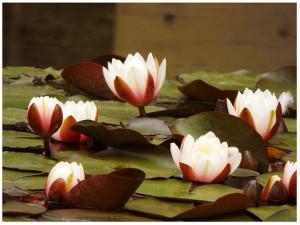 The Lotus Plant