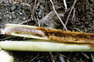 Stem borer larva feeding on a maize stem.