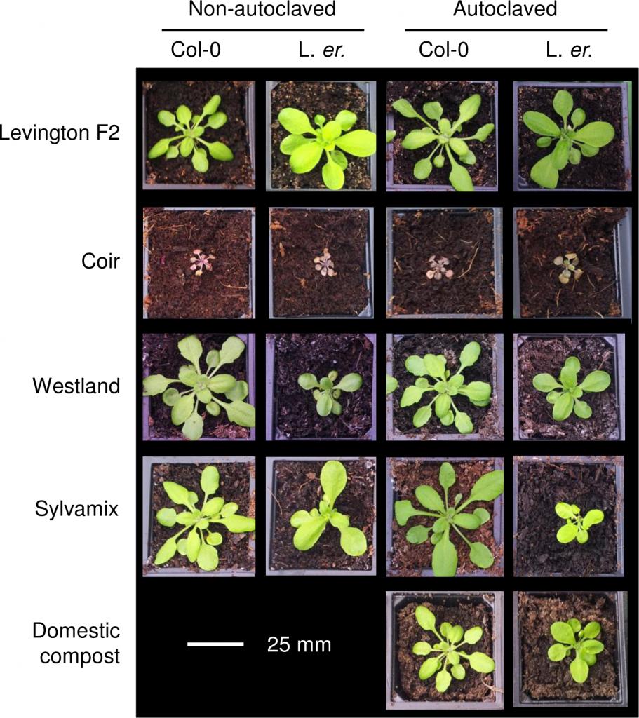 Arabidopsis growth media