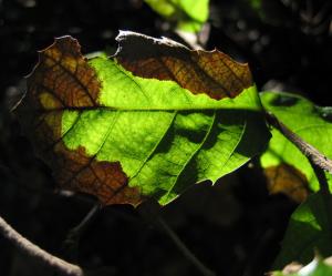 Phytophtora ramorum