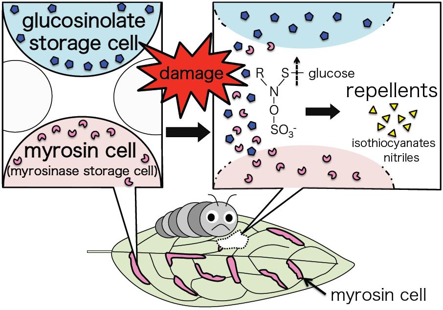 Glucosinolate myrosinase defense system