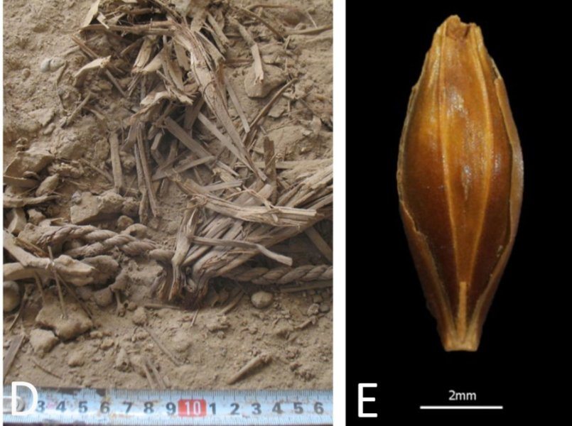 Ancient barley grain