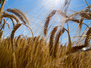 Modern barley