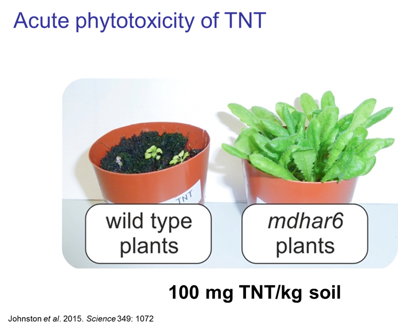 TNT toxicity in plants
