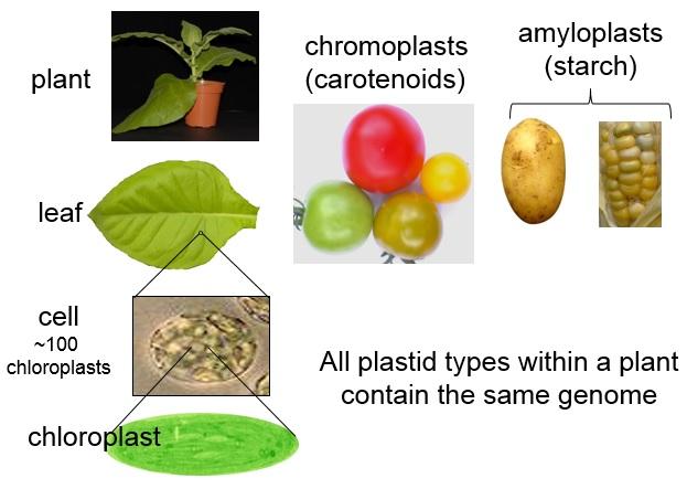 Plastids in plants