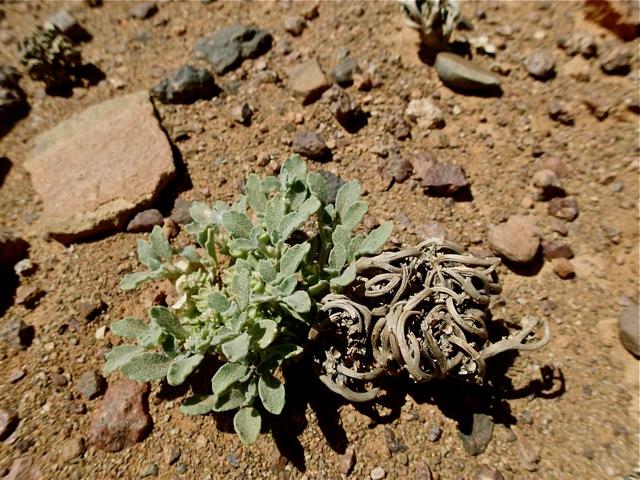 Rose of Jericho (Anastatica hierochuntica)