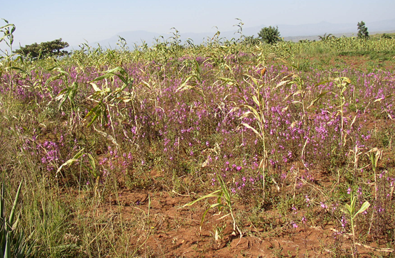 Striga-infected sorghum