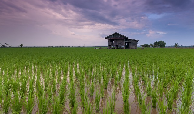 Disappearing rice fields threaten more global warming