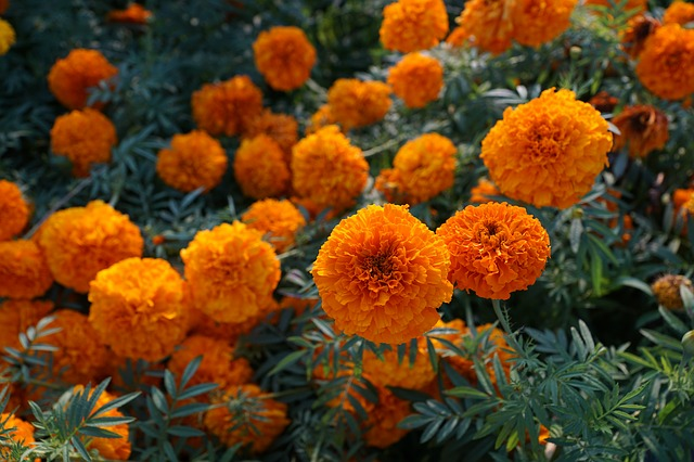 How the humble marigold outsmarts a devastating tomato pest