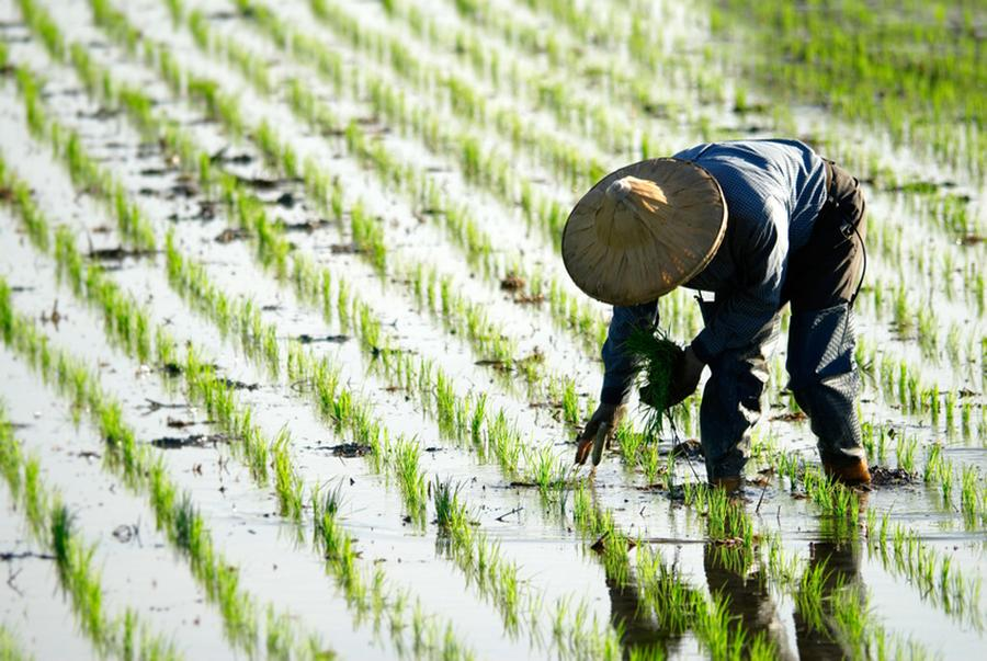 Rice yields plummet and arsenic rises in future climate-soil scenarios