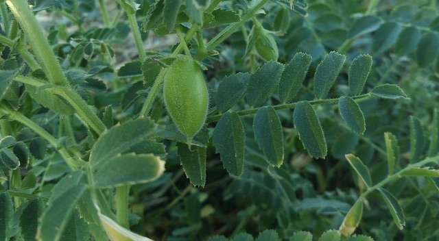 Global team cracks genetic code to develop high-yielding, climate resilient chickpea