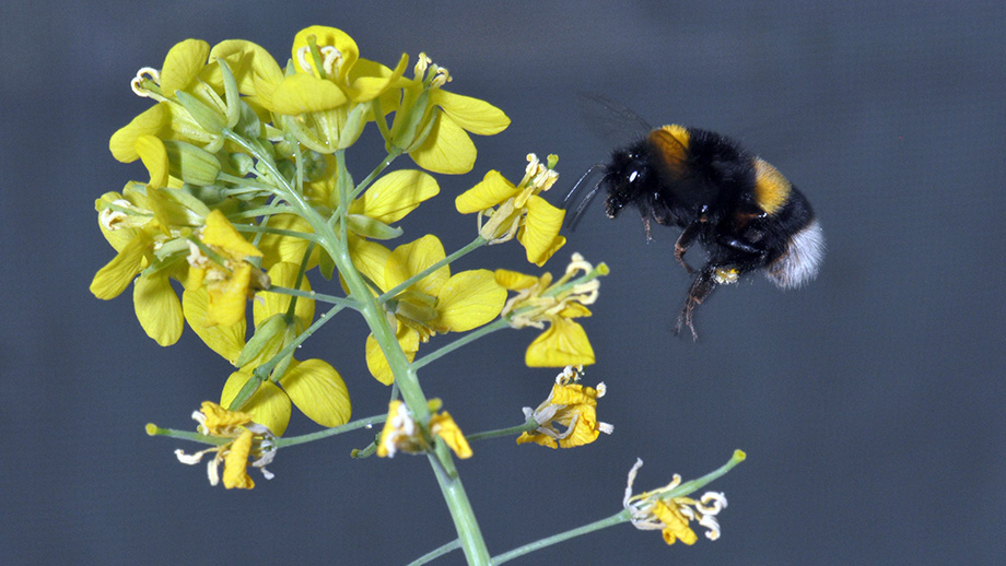 Interplay of Pollinators and Pests Influences Plant Evolution