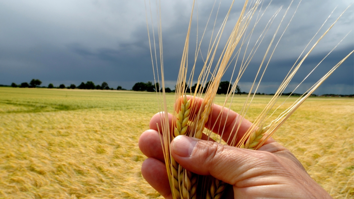 wheat in a hand plus field