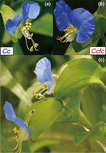 Close relatives can coexist: two flower species show us how