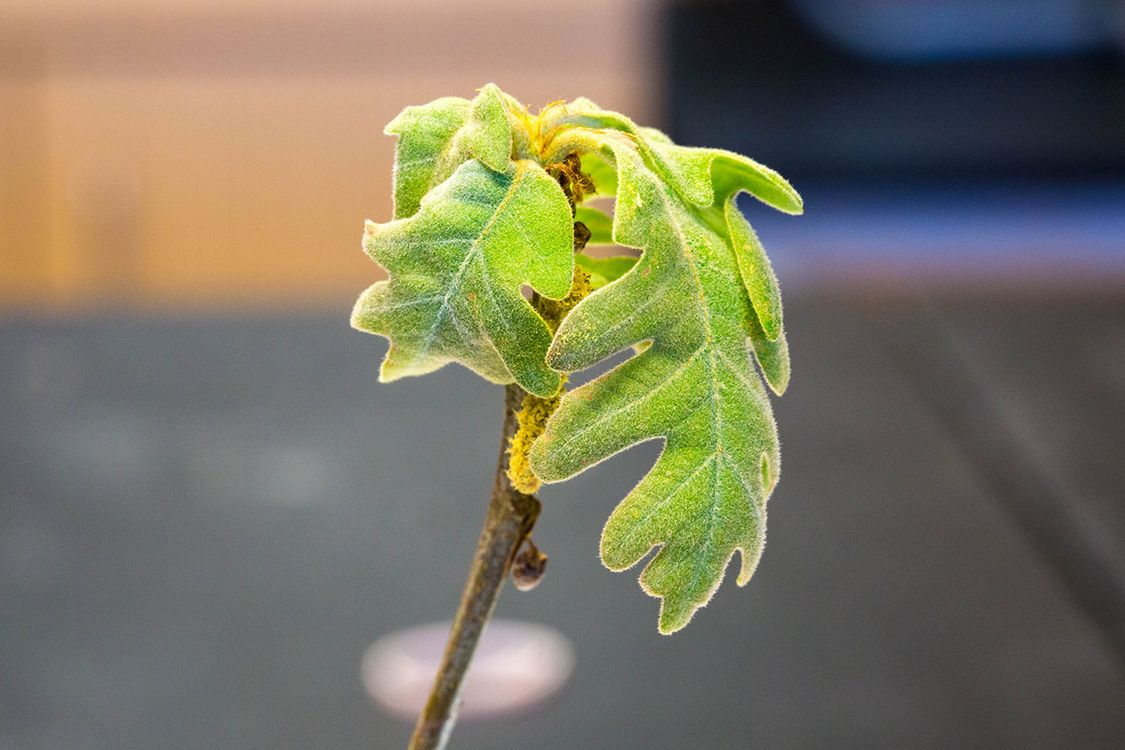 Early spring: Predicting budburst with genetics