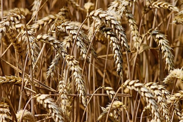 Targeting how fungi 'taste' wheat could be key to developing control