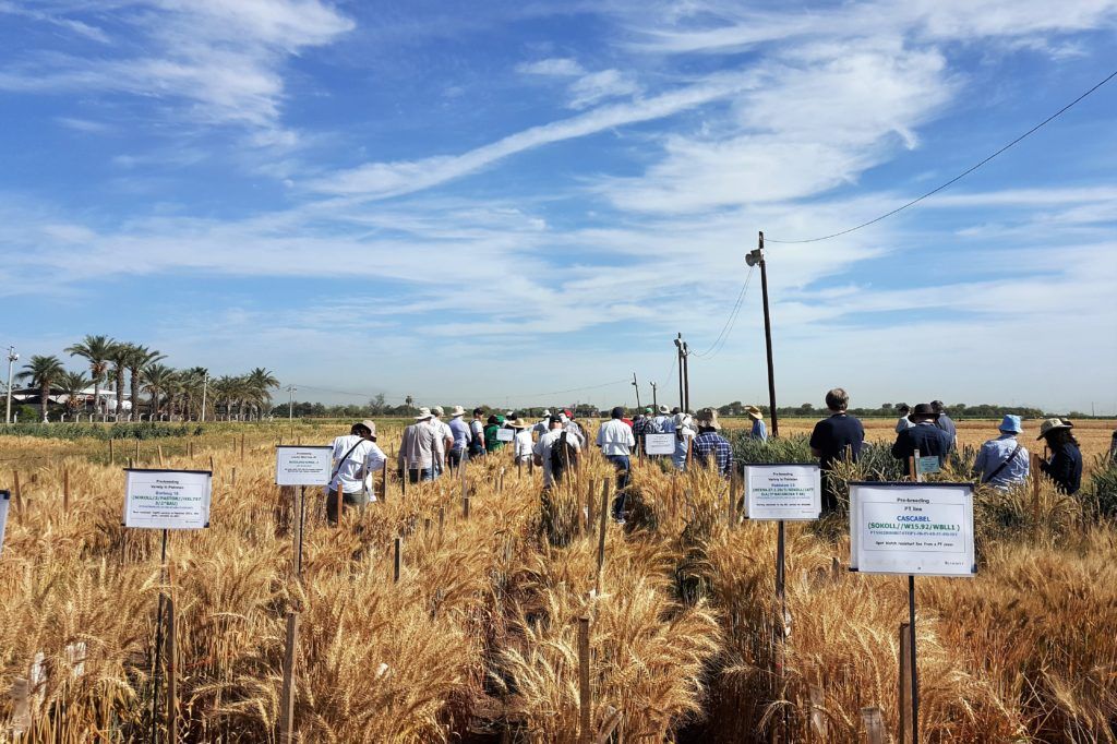 State of the art research meets breeding for wheat's future
