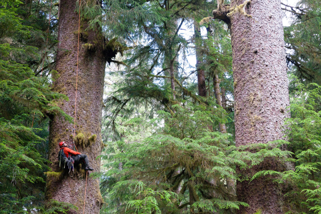 Scientists find high mutation rates generating genetic diversity within huge, old-growth trees