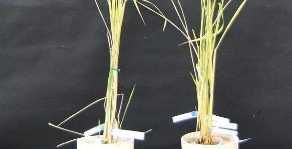 Researchers can finally modify plant mitochondrial DNA