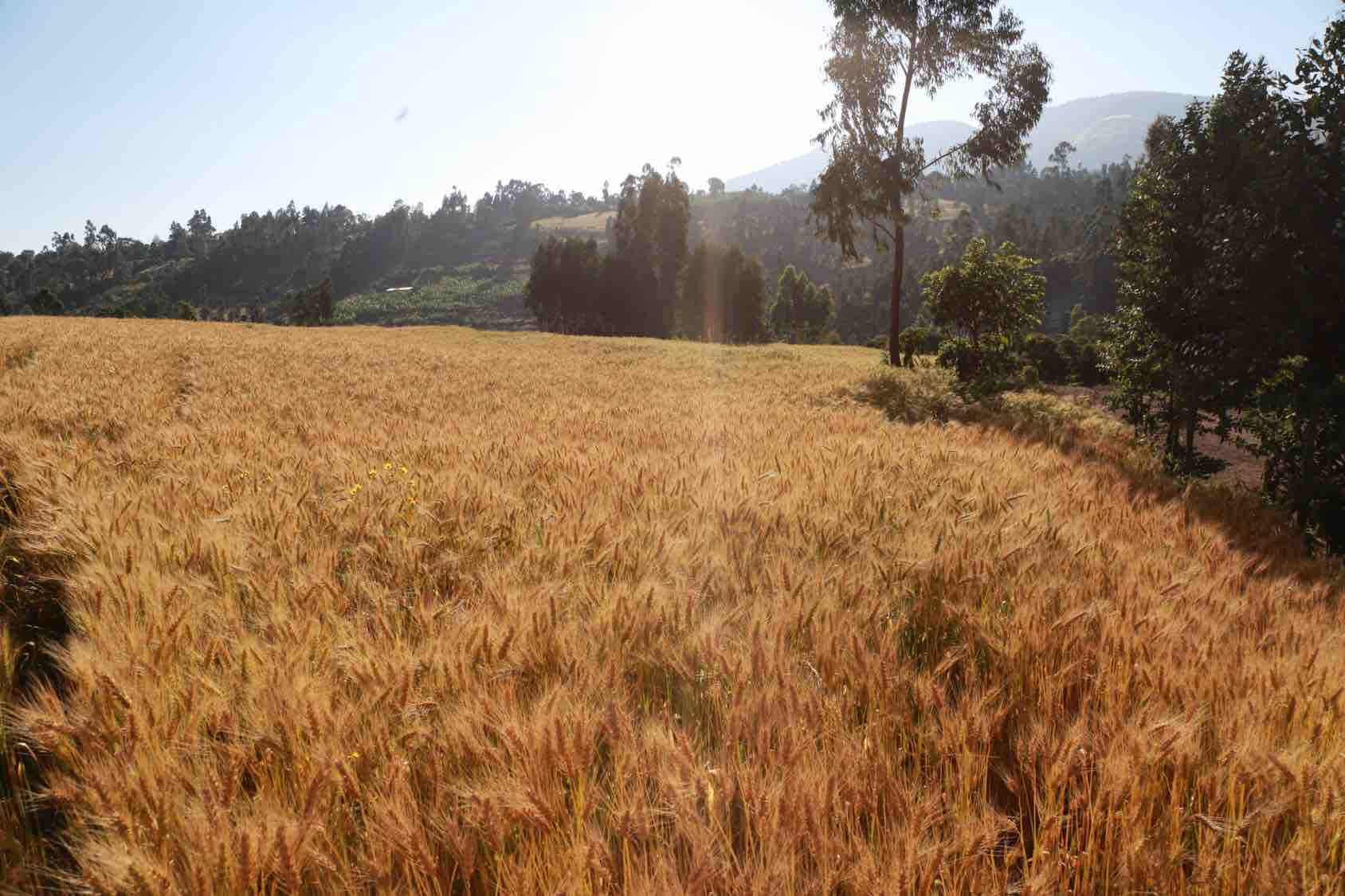 Large-scale genomics will improve the yield, climate-resilience, and quality of bread wheat, new study shows