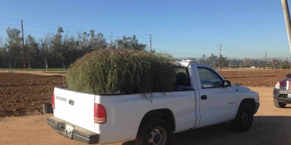 Monster tumbleweed: Invasive new species is here to stay