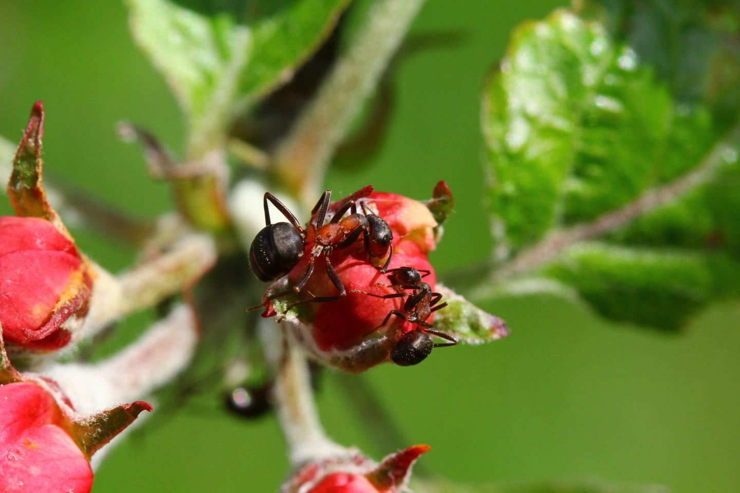 Ants fight plant diseases
