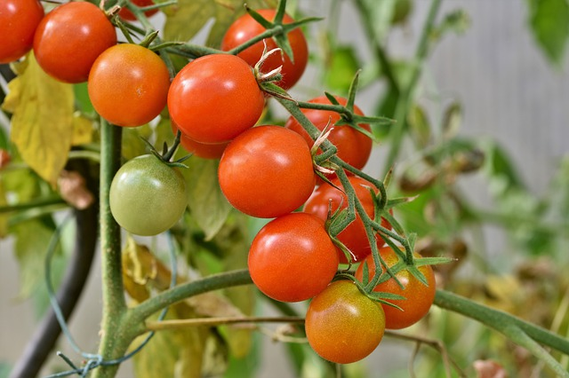 Tree fungus reduces fertilizer requirement for ketchup tomatoes