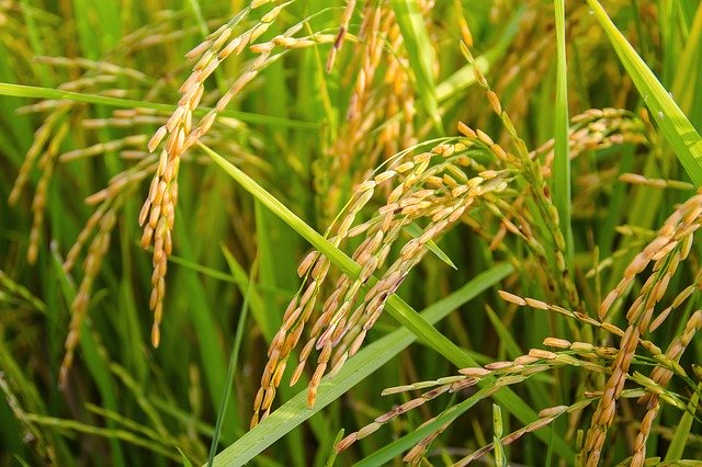 Research team wants to eliminate dangerous plant diseases in rice