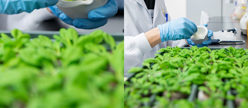 Discovery of immunity signaling intermediary could lead to more pest-resistant crops.