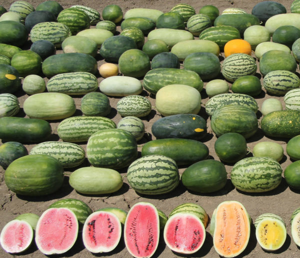 Harvesting Genes to Improve Watermelons