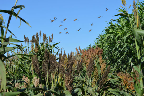 Sorghum domestication illuminates relationship between humans, crops and the environment