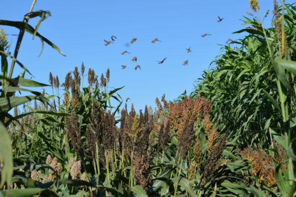 Sorghum domestication illuminates relationship between humans, crops and the environment