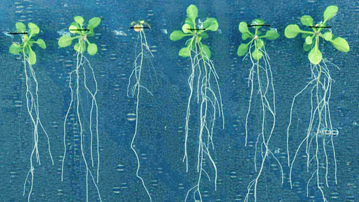 'Conductor' Gene Found in Plant Root Stem Cell 'Orchestra'