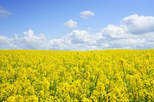 New discovery will help fight lethal oilseed rape disease