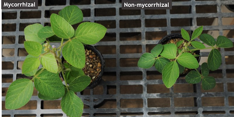 Genes controlling mycorrhizal colonization discovered in soybean