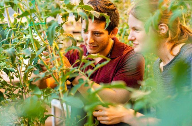 Wild tomatoes resist devastating bacterial canker