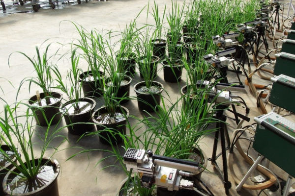 Photosynthesis varies greatly across rice cultivars—natural diversity could boost yields