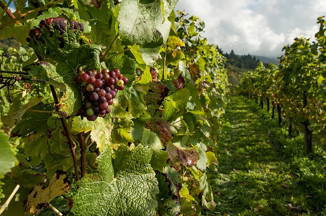 Researchers develop strategy to protect wine grapes from smoke-taint