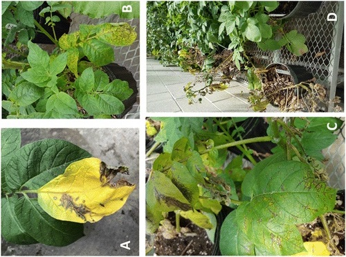 ​​Potato plants at highest risk of potato virus Y infection during first three weeks