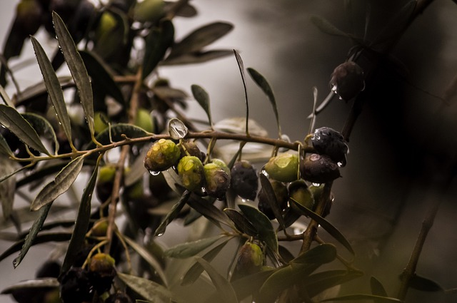 Calculating the economic impact of deadly olive tree pathogen in Europe