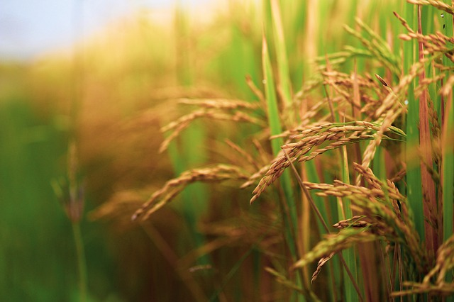 Scientists Optimize Prime Editing for Rice and Wheat