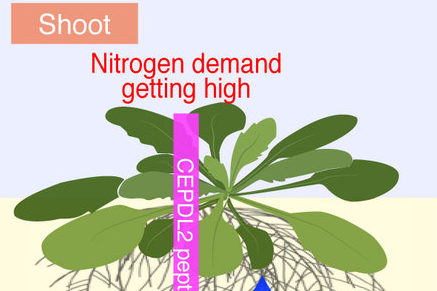 Hormone produced in starved leaves stimulates roots to take up nitrogen