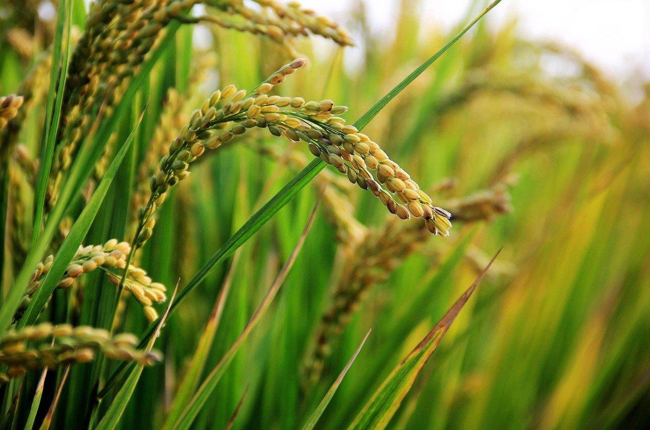 Scientists discover proteins in rice vital for pollination