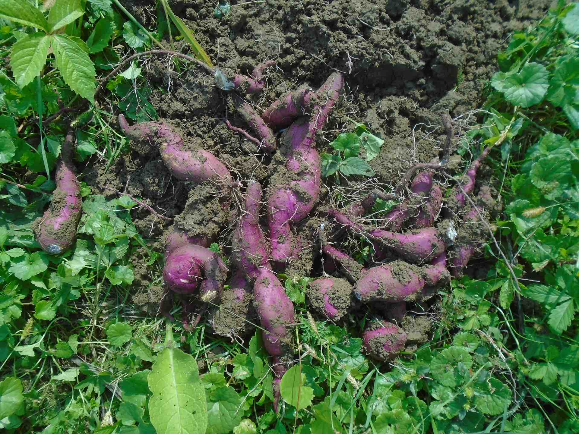 ​​Sweet potato microbiome research important first step towards improving yield